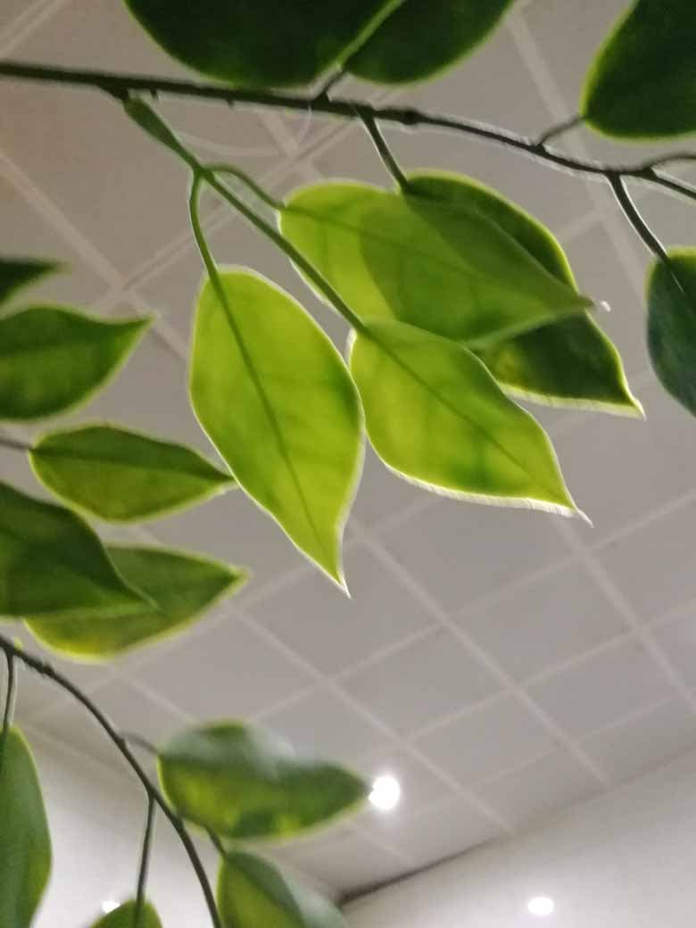 plastic ficus leaf for outdoors